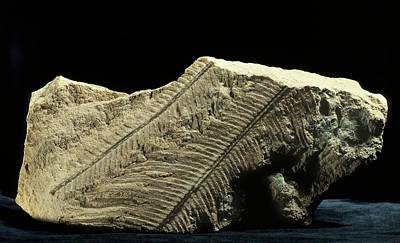 Palaeobotany Photograph - Anomopteris Fern Fossil by Gilles Mermet