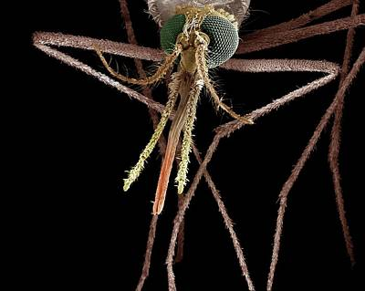 Anopheles Mosquito Art Print by Clouds Hill Imaging Ltd