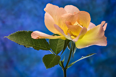 Photograph - Another Beautiful Rose by Jean Noren
