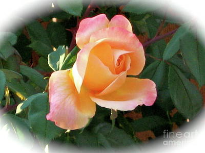 Photograph - Another Perfect Rose by Phyllis Kaltenbach