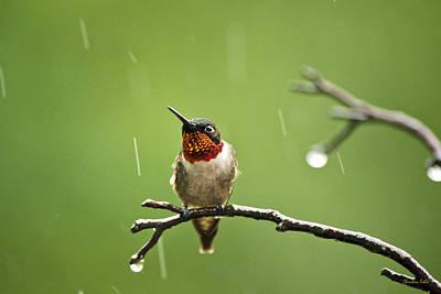Hummingbird Photograph - Another Rainy Day Hummingbird by Christina Rollo