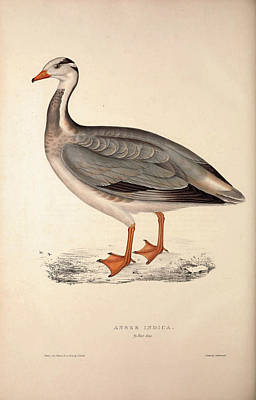 Exotic Drawing - Anser Indica, Bar-headed Goose. Birds From The Himalaya by Quint Lox
