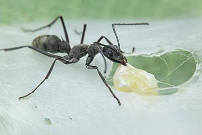 Ant Wall Art - Photograph - Ant (diacamma Sp.) Raiding Spider Nest by Melvyn Yeo