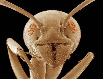 Ant Wall Art - Photograph - Ant Head by Thomas Deerinck, Ncmir