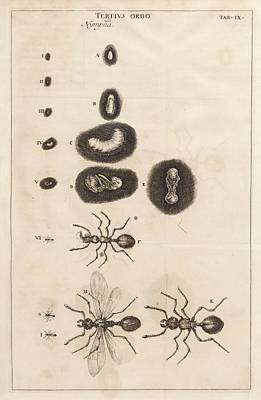 Ant Wall Art - Photograph - Ant Life Cycle by King's College London