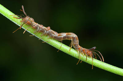 Ant Wall Art - Photograph - Ant-mimic Caterpillar by Melvyn Yeo