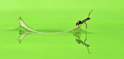 Ant Photograph - Ant On A Leaf Revisited by Robert Trevis-smith