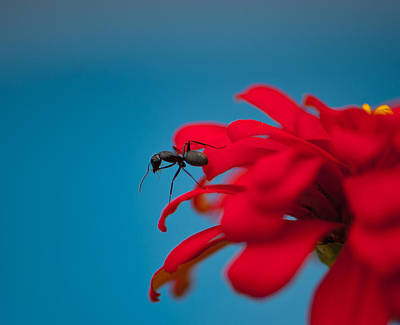 Photograph - Ant On Flower by Sarah Crites