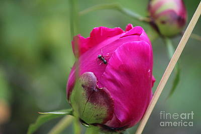 Art Print featuring the photograph Ant On Peony by Ann E Robson
