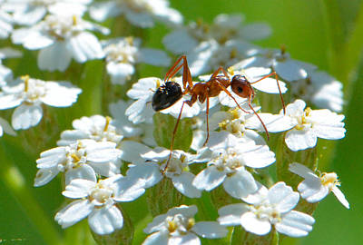 Photograph - Ant On Wildflower by Amy Porter