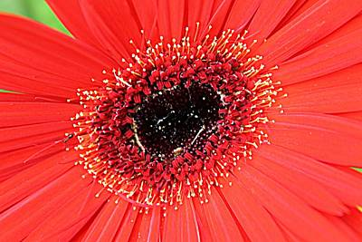 Photograph - Ant That A Daisy by Sarah E Kohara