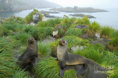 Fur Seal Photograph - three Antarctic Fur Seals by Yva Momatiuk John Eastcott
