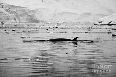 Fournier Photograph - antarctic minke whale Balaenoptera bonaerensis surfacing with dorsal fin in fournier bay antarctica by Joe Fox