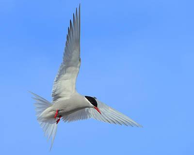Antarctic Tern Art Print by Tony Beck