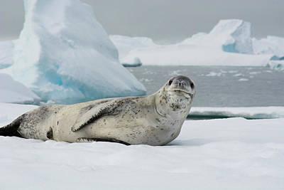 Antarctica Charlotte Bay Leopard Seal Art Print