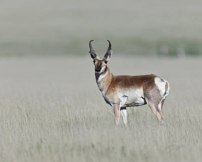 Trophy Buck Photograph - Antelope Buck by Gary Langley