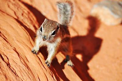 Antelope Ground Squirrel Art Print by Kyle Hanson