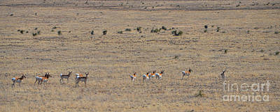 Photograph - Antelope Herd by Donna Greene