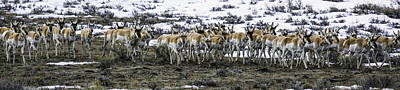 Photograph - Antelope Herd by Susi Stroud
