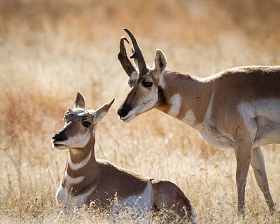 Photograph - Antelope Love by Jack Bell