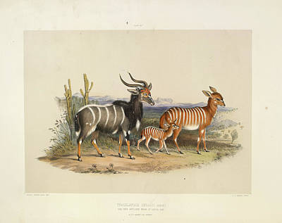 Land Feature Photograph - Antelopes by British Library