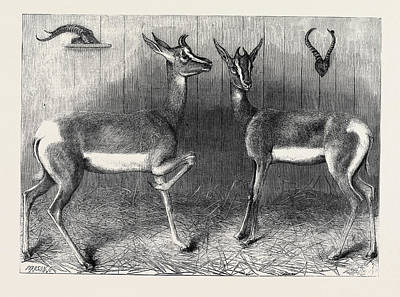 Antelope Drawing - Antelopes From Soudan In The Gardens Of The Zoological by English School