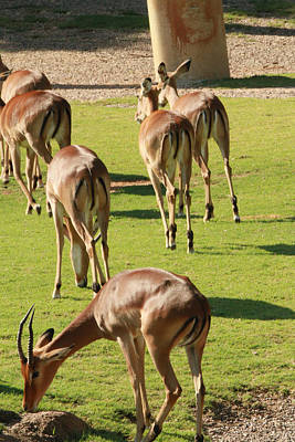 Antelopes Art Print by Tinjoe Mbugus