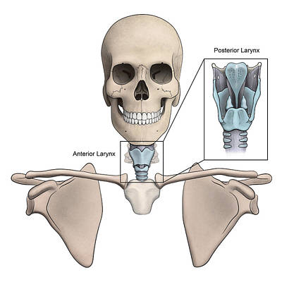 Anterior And Posterior Larynx Art Print