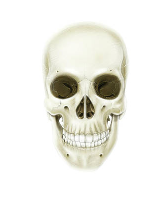 Anterior View Of Human Skull Art Print by Alan Gesek