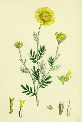 Botanica Drawing - Anthemis Tinctoria Ox-eye Chamomile by English School