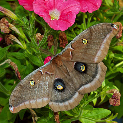 Photograph - Antheraea Polyphemus by Randy Hall