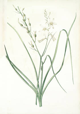 St Joseph Drawing - Anthericum Liliago, Phalangère Fleur De Lis Phalangium by Artokoloro