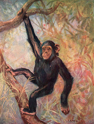Chimpanzee Drawing - Anthropopithecus Troglodytes by Mary Evans Picture Library