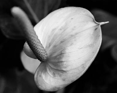 Photograph - Anthurium - Ir by Chris Bordeleau