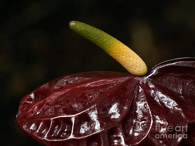 Photograph - Anthurium Dark by Inge Riis McDonald