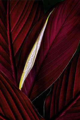 Photograph - Anthurium Leaves And Bud Burgundy by Bob Coates
