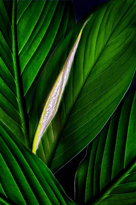 Photograph - Anthurium Leaves And Bud Green by Bob Coates