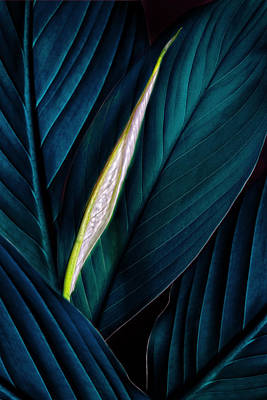 Photograph - Anthurium Leaves And Bud Turquoise by Bob Coates