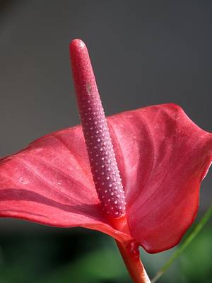 Flamingo Photograph - Anthurium Miss June by Zina Stromberg