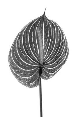 Fragility Photograph - Anthurium Monochrome by Fuhito Kanayama