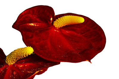 Photograph - Anthurium On White by Bill Barber