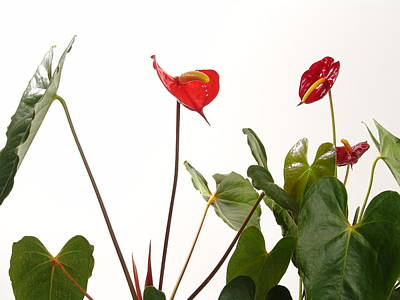 Western Art - Anthuriums by Lina Isaza