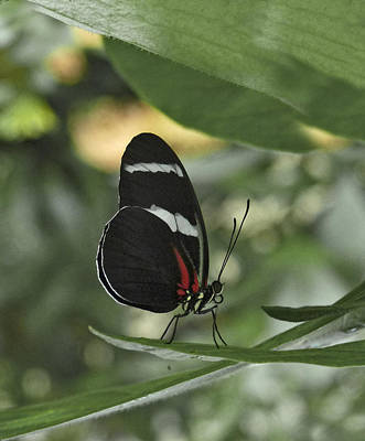 Photograph - Antiochus Longwing Butterfly. by Chris  Kusik