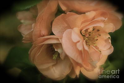 Photograph - Antiquated Quince by Terri Thompson