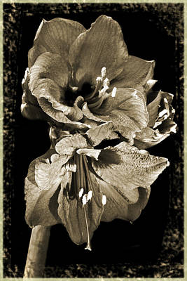 Photograph - Antique Amaryllis. by Terence Davis