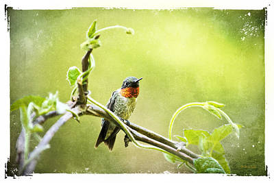 Hummingbird Mixed Media - Antique Hummingbird Postcard No. 9038 by Christina Rollo