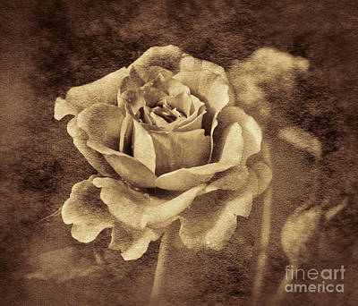 Photograph - Antique Rose by Shirley Mangini