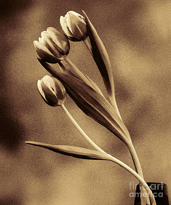 Photograph - Antiqued Tulips by Shirley Mangini
