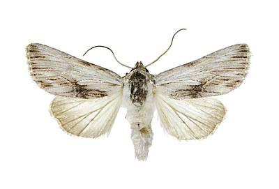 Antirrhinum Photograph - Antirrhinum Brocade Moth by Science Photo Library