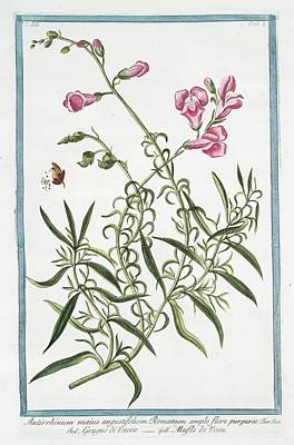 Antirrhinum Majus Art Print by Rare Book Division/new York Public Library